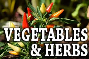 vegetables-herbs-photo